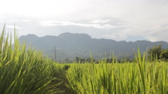 Landscape of a beautiful green field with rice stalks swaying in the wind Stock Footage