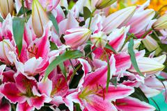 Amaryllis flowers. Stock Photos