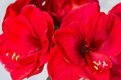 Red amaryllis flowers Stock Photos