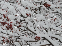 Mountain ash in the winter. Related clips are in my portfolio in 1920x1080. Stock Footage