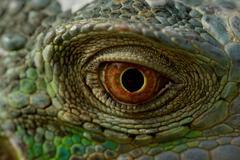 iguana eye - stock photo