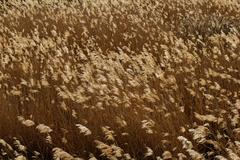 Stock Photo of golden reed field