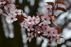 pink blossom tree - stock photo