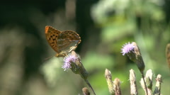 Silver-washed fritillary 05 Stock Footage