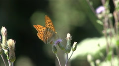 Silver-washed fritillary 04 Stock Footage