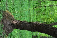 tree trunk like elephants foot - stock photo
