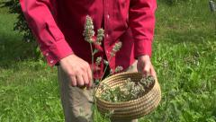 Gardener in farm cut with scissors medical plant lemon-balm mint in basket Stock Footage