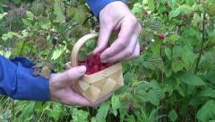 $picking wild strawberries in summer forest Stock Footage