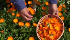 Harvesting  calendula officinalis marigold medical flowers Stock Footage