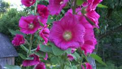 Beautiful hollyhock alcea rosea flowers in old farm garden Stock Footage