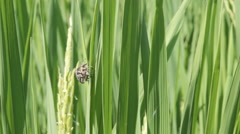 Beetles are breeding in rice fields. Stock Footage
