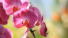 Pink Phalaenopsis orchid Stock Footage