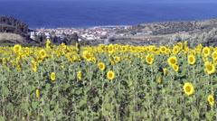 Sunflower field - stock footage
