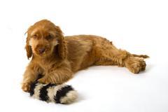 Cocker Spaniel puppy Stock Photos