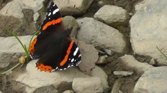 Red Admiral Butterfly sitting on stones moving wings Stock Footage