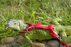 Green iguana on a leash Stock Photos
