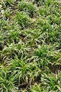 Ophiopogon japonicus Stock Photos