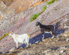 Goats in the mountains of lanzarote Stock Photos