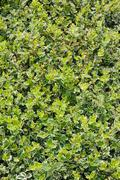 Euonymus emerald gaiety - stock photo