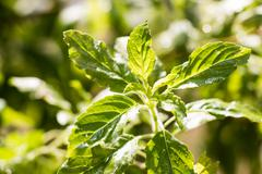Close up Sweet basil leaf from Thailand Stock Photos