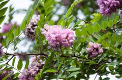 Rose Acacia Robinia or acinar Sims - stock photo