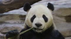 portrait of a panda - stock footage