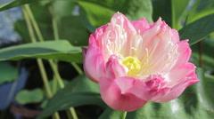 Pink lotus blooming Stock Footage