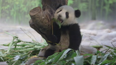 baby panda playing,China - stock footage