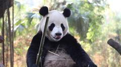 Cute eating panda Stock Footage