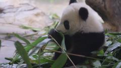 Baby panda eating bamboo Stock Footage