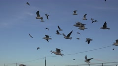 Seagulls flying over the waves of the river, many flock, 4k Stock Footage