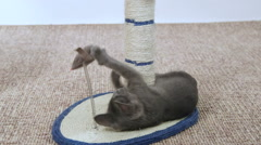 Cute grey kitten playing with mouse toy attached to scratching post Stock Footage
