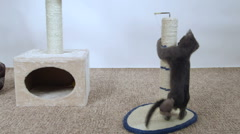 Kitten have fun playing with mouse toy attached to scratching post Stock Footage