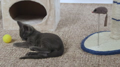 Kitten resting after playing on scratching post with mouse Stock Footage