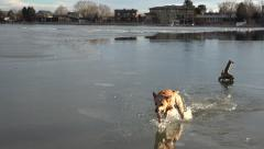 Dog Turning Back Stick From Thin Ice Stock Footage