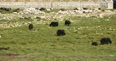 4k a flock of yak on the Prairie,River flowing through the grassland. Stock Footage