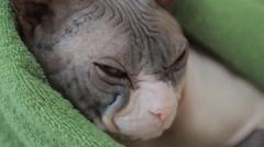 Sphynx cat 2 Stock Footage