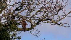 Wildlife Buzzard perched on branch of a tree Stock Footage