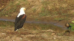 African Fish Eagle watching Hamerkop fishing Stock Footage