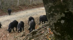 Sicilian black pig Stock Footage