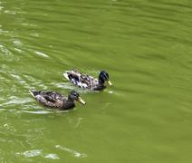 duck swimming in the lake - stock photo