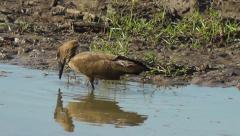 Hamerkop shuffling its feet to disturb small fish - stock footage
