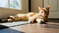 Cat on Floor Interior - Cute Orange Tabby Lounging - Lazy Kitty Sunbathing  - stock footage