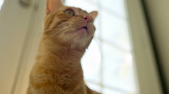 Cat Face - Cute Orange Tabby Kitty Looking Up Stock Footage