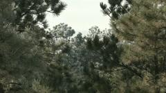 Frosty pine trees behind unfrozen pine trees Stock Footage