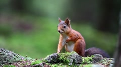 Squirrel in forest Stock Footage