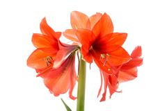 Blooming amaryllis over a white background Stock Photos