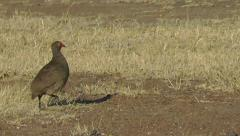 Red-necked spurfowl running fast and then stops Stock Footage