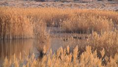 Reed, lake and ducks in Ladakh, India (Jammu and Kashmir). Stock Footage