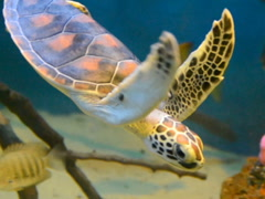 Sea turtle in water. Related clips are in my portfolio in 1920x1080. - stock footage